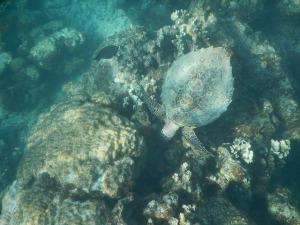 パラオのウミガメ