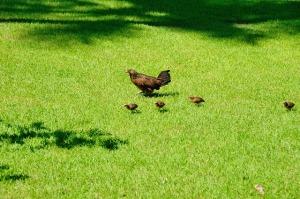 パラオの鶏