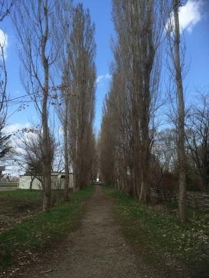 北大ポプラの並木道