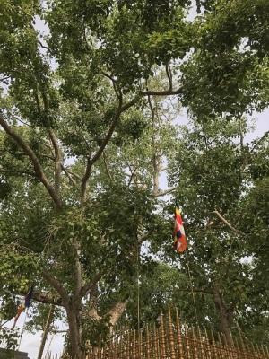 インドからスリランカへ運ばれた菩提樹