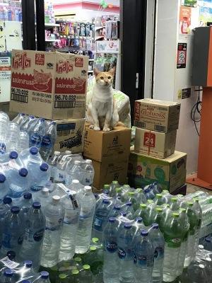 ピピ島の猫